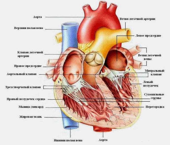 Устройство сердца